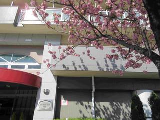 ジュネスコート前の八重桜が満開です