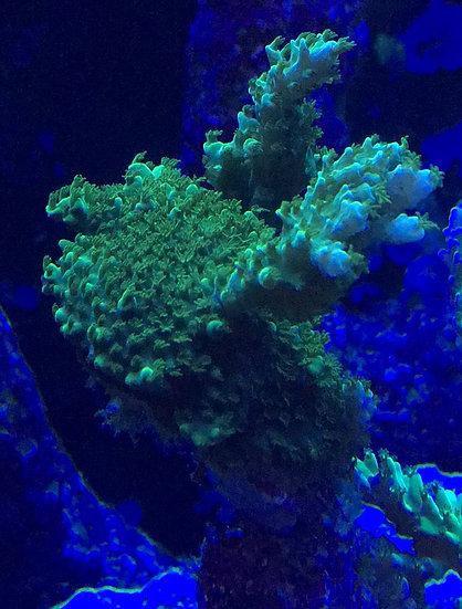 """Green Slimer Acropora Frag 1/2"""""""
