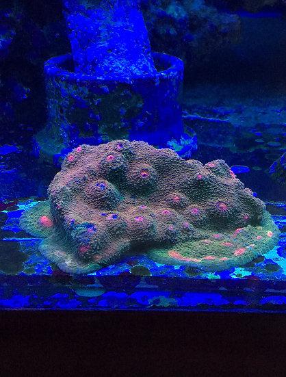 """Bubblegum Monster Chalice Frag 1/2"""""""