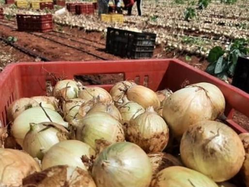 Prefeito de Cabaceiras visita plantação de cebola e comemora resultado da agricultura do município: