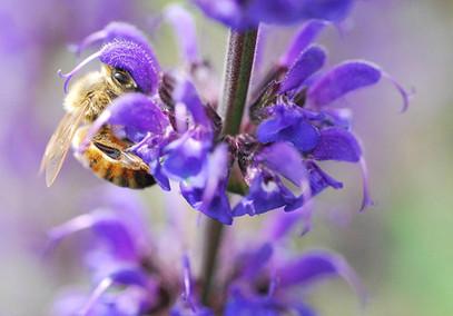 Honeybee1-6042012.jpg