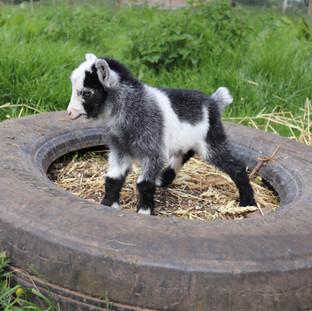 Freddie- Pygmy Goat