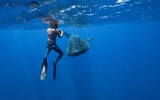 Les_requins_baleines_de_Sainte-Hélène_