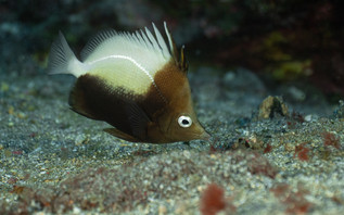 The hedgehog butterflyfish, another endemic species of Saint Helena and Ascension Island - Prognathodes dichrous.