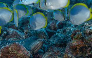 Une Savonette Commune se couche sur le flanc et attend patiemment qu'un poisson papillon passe à portée de gueule - Rypticus saponaceus