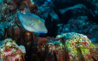 Le poisson coffre a nez pointu de St Helene est une des especes endemiques de l'ile et est tres peu farouche envers les plongeurs - Canthigaster sanctahelenae