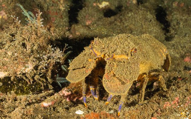 La cigale de mer de Sainte-Hélène a l'allure d'un fossile vivant et est endémique des îles de l'atlantique sud St Helene Tristan Da Cunha et Ascension