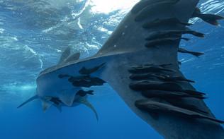 Requin Baleine - Rhincodon typus