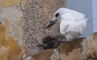 Gygis blanche nourrit son petit sur le b