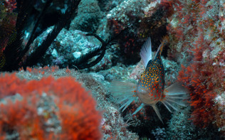 The red-spotted hawkfish is common in rocky reefs and are frequently found resting on their large pectoral fins whilst on the lookout for prey - Amblycirrhitus pinos.