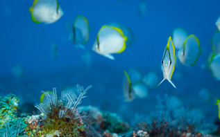 In February, the coastal waters are filled with millions of newly hatched butterfly fish, an endemic emblem of the waters of Saint Helena - Chaetodon sanctahelenae.