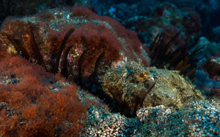 A spotted scorpionfish waiting in ambush - Scorpaena plumieri.