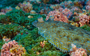The Saint Helene flounder is one of the islands many endemic species, recognisable by its brightly blue-ringed spots - Bothus mellissi.