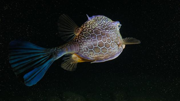Poisson Coffre d'Islande très amical en plongée de nuit - Acanthostracion notacanthus