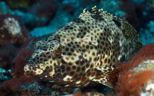 Rock hind, a species of grouper - Epinephelus adscensionis.