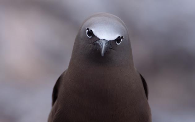 Le regard inquisiteur du noddi brun_Egg