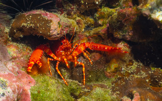 The beautiful red Atlantic reef lobster - Enoplometopus antillensis.