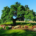 Camperdown Elm - Ornamental Tree Services in CT | Ornamentals LLC