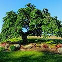 Pruning Camperdown Elm