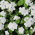 periwinkle Container Garden Designers CT