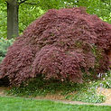 Japanese Maple - Ornamental Tree Services in CT | Ornamentals LLC