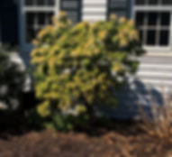 Arborist in Connecticut ornamental tree and shrub pruning_246_ed