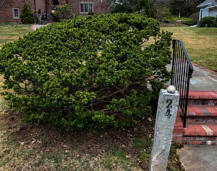 Arborist in Connecticut ornamental tree and shrub pruning in Har