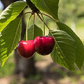 Cherry Tree - Ornamental Tree Services in CT | Ornamentals LLC