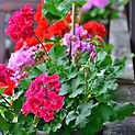 Geraniums Container Garden Designers CT