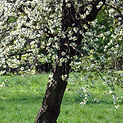 Crabapple Tree - Ornamental Tree Services in CT | Ornamentals LLC