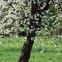 Pruning Crab apple Trees