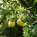 Quince Tree Ornamental Tree Services in CT | Ornamentals LLC