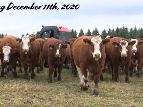 Harvey & Sherry Milligan Bred Heifers