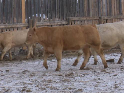 Select Charolais Bull Sale