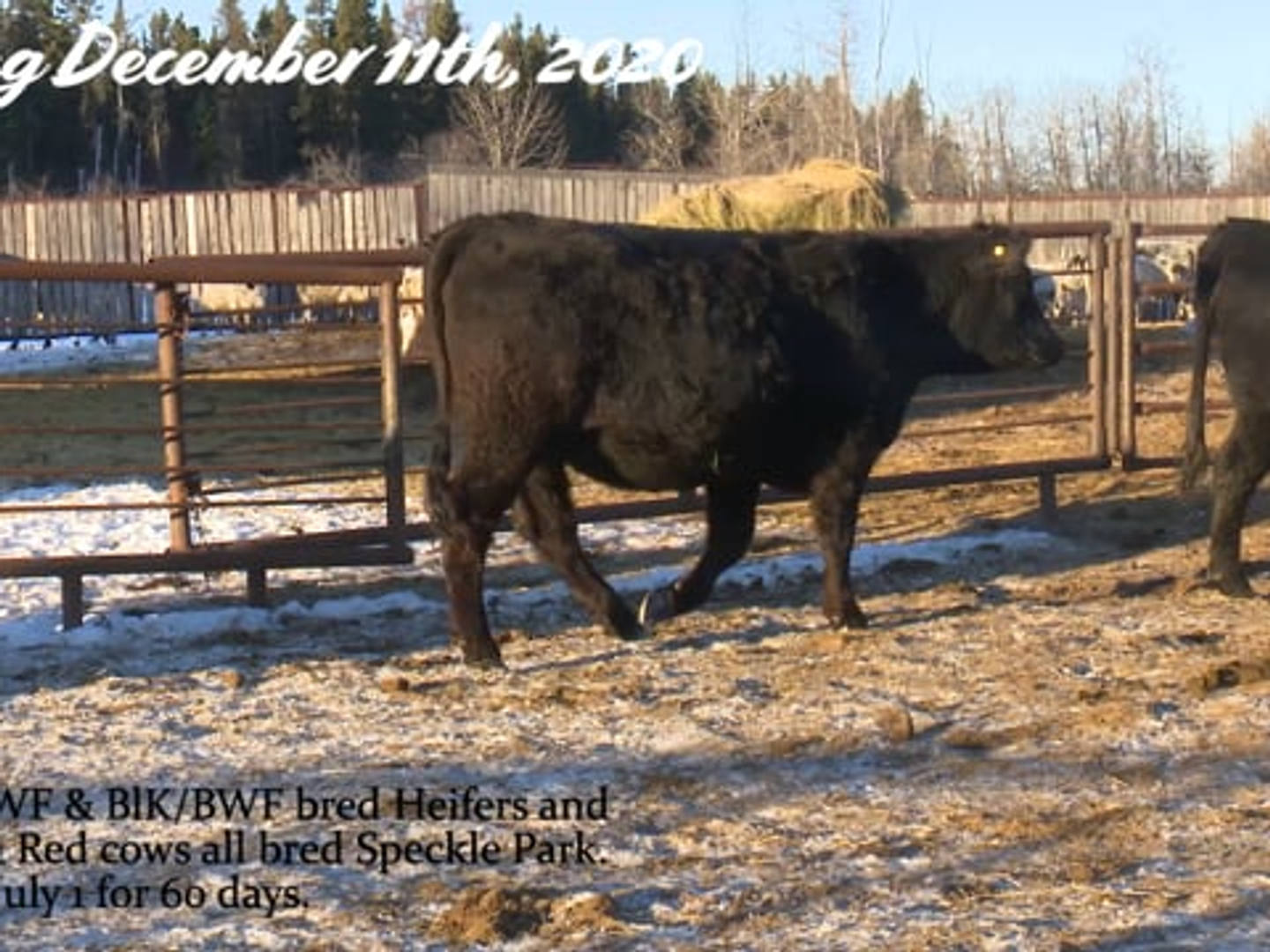 Codiak Acres Bred Heifers