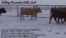 November 27th Bred Cow & Heifer sale