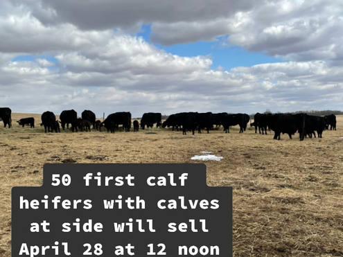50 first calf heifers.