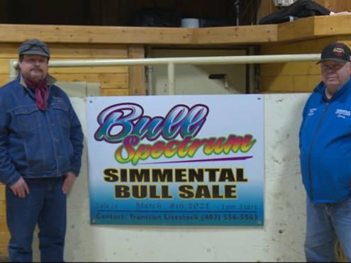 Bull Spectrum Simmental Bull Sale