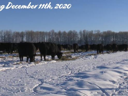 Marcinek Cattle Company herd dispersal