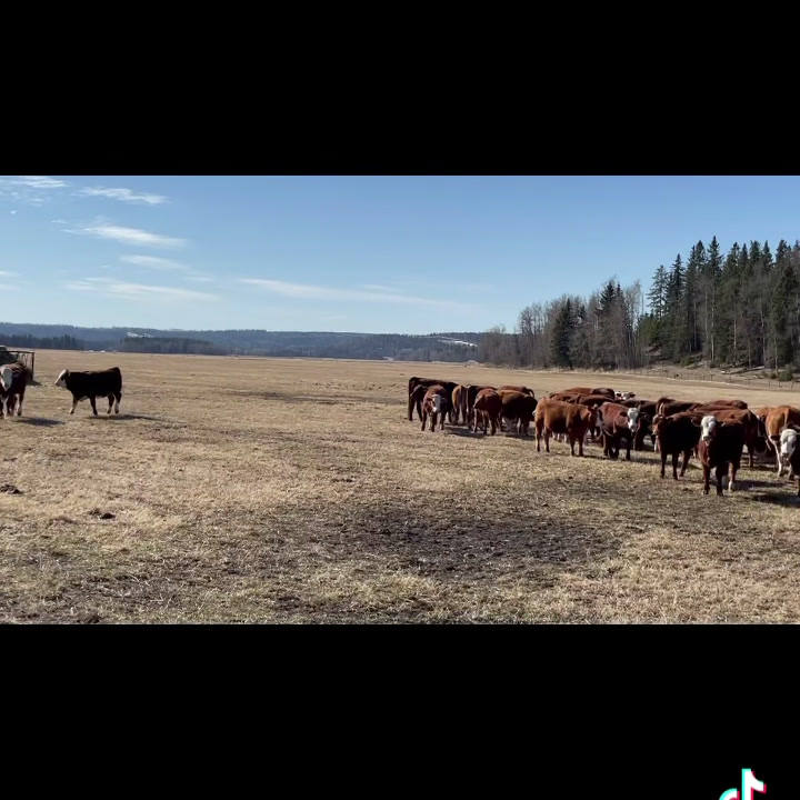 Lodgepole Ranch replacement heifers.