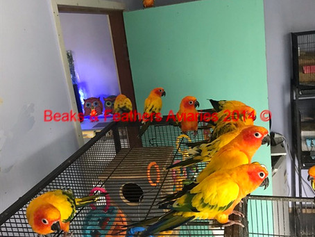 Some lovely young pied Sun Conures
