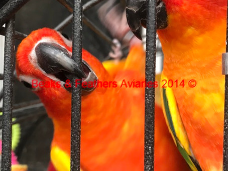 Some nice orange pied Sun conures