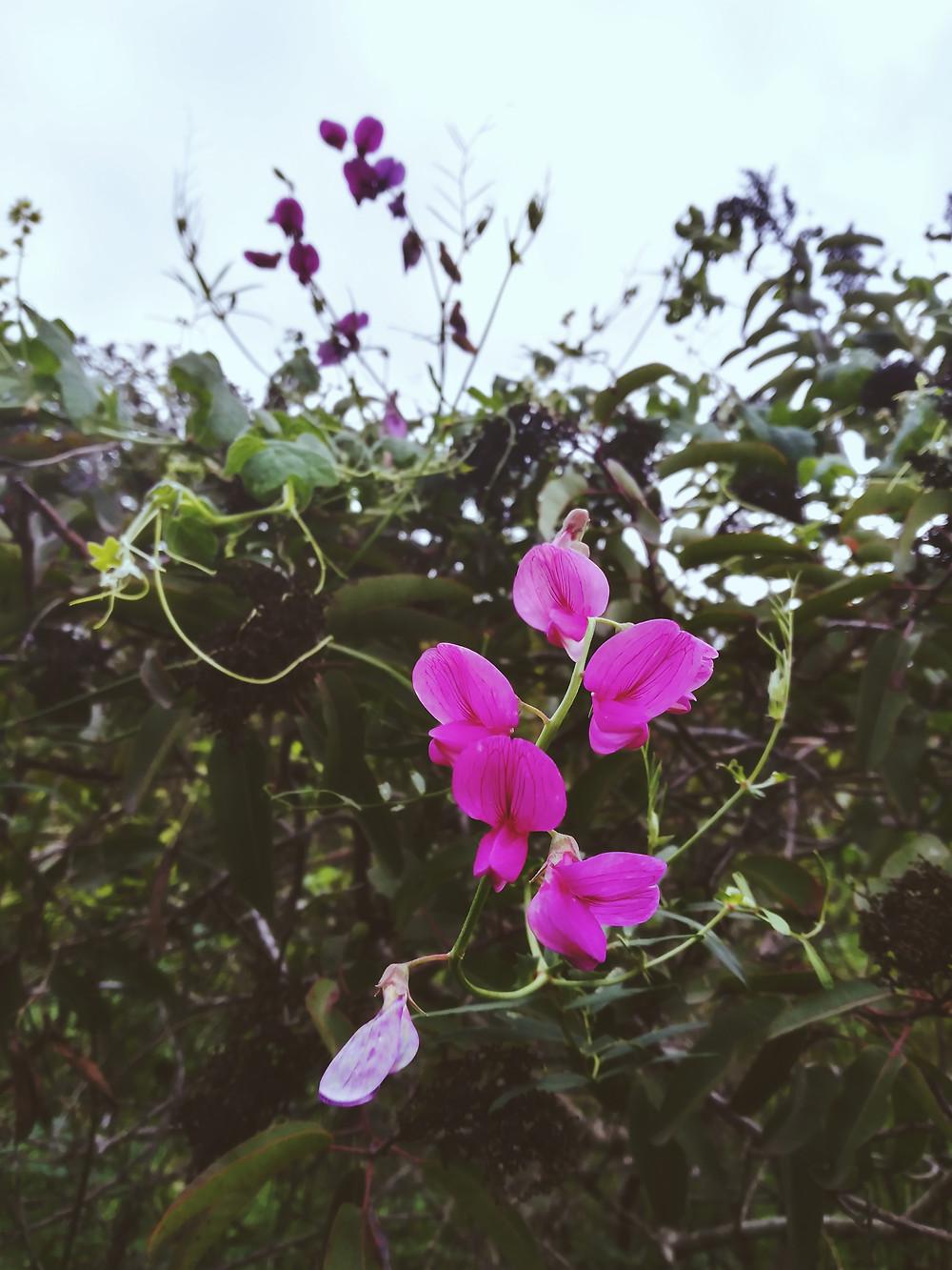Art of Elura photography California Sweat Pea, pink and purple flowers