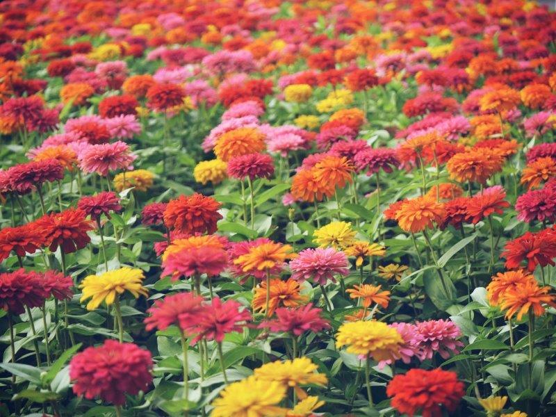 53. Blumen in Hanoi (Vietnam)