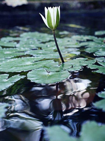 71. Seerose Weiß (Bali)