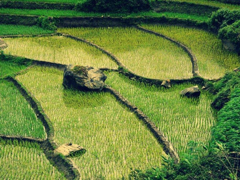 38. Reisfeld-Mosaik (Vietnam)