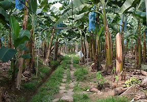 Banana Plantation for sale.jpg
