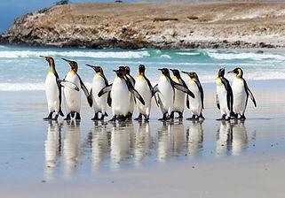 Volunteer Point Penguins Stanley Falkland Shore Excursion