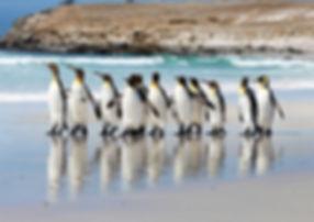 King Penguins on Volunteer Point Beach (