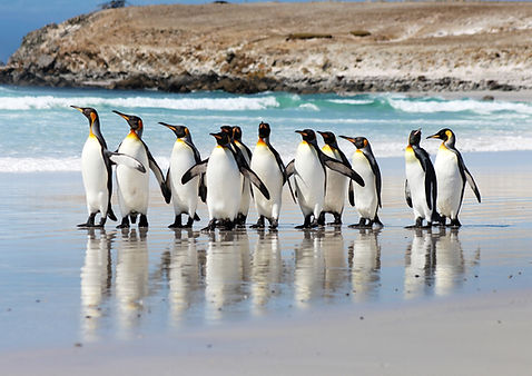 King Penguins on Volunteer Point Beach (